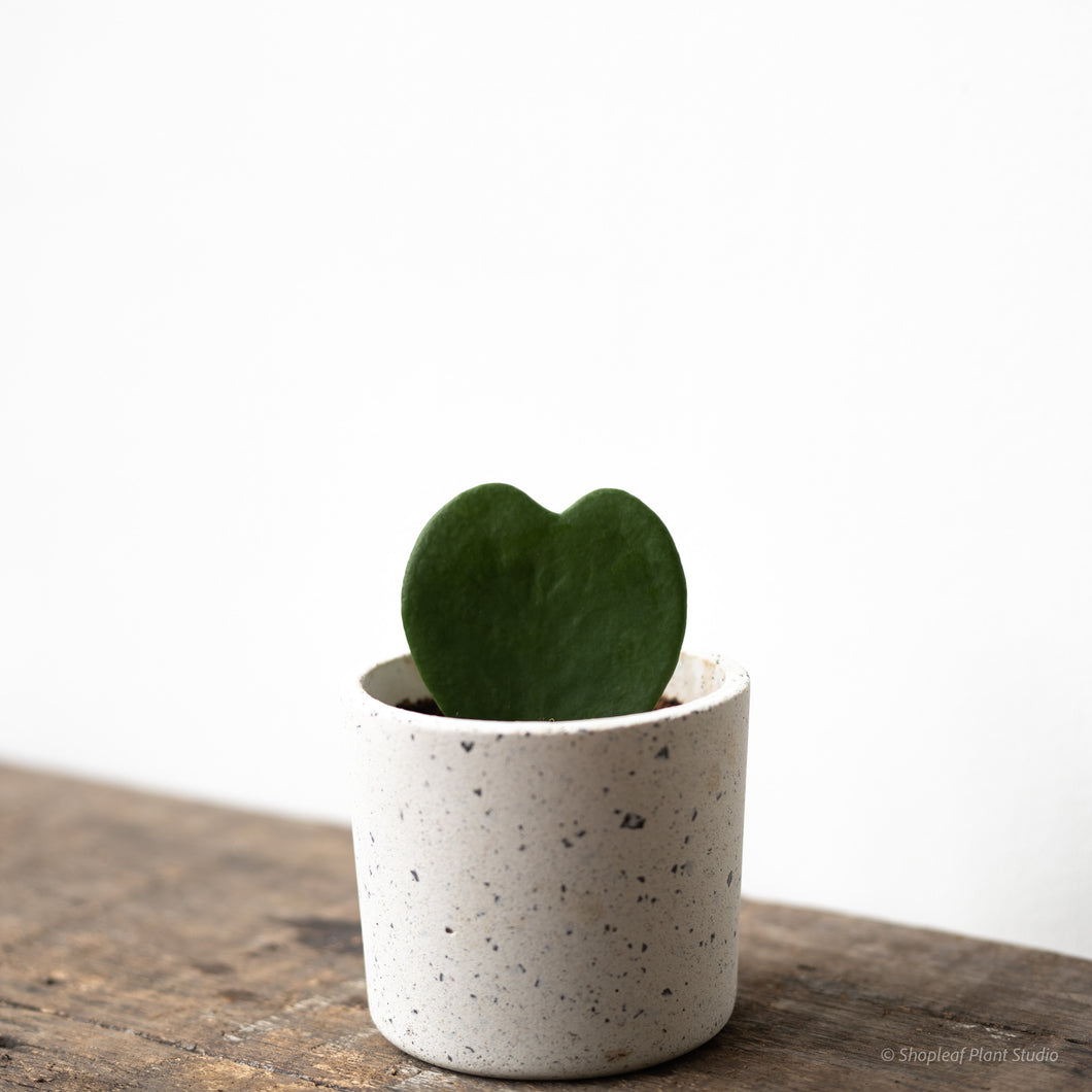 Hoya Heart on Concrete Pot