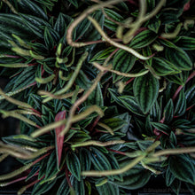 Load image into Gallery viewer, Peperomia Rosso (S)