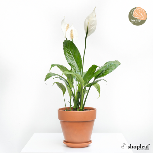 3in1 Peace Lily (S)