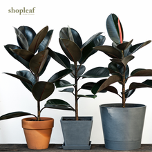 Load image into Gallery viewer, Burgundy Rubber Tree (M)