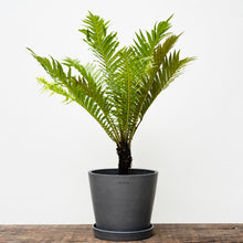 Load image into Gallery viewer, Blechnum Fern