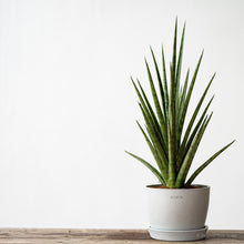 Load image into Gallery viewer, Sansevieria Silver Nymph (L)
