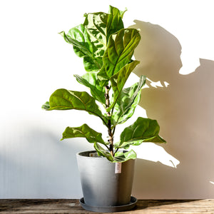 Fiddle Leaf Fig Tree (3ft) on Ecopots™ Big