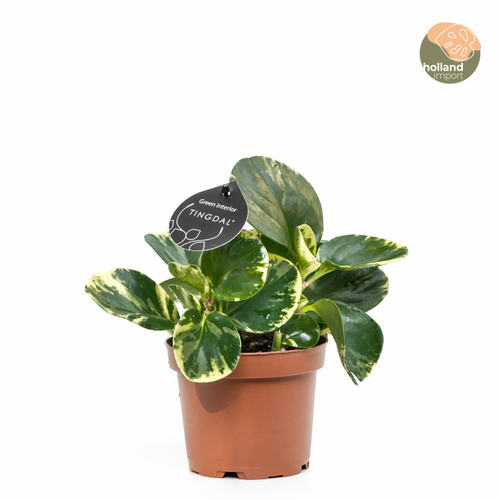 Peperomia Marble (S)