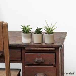Sansevieria Bundle