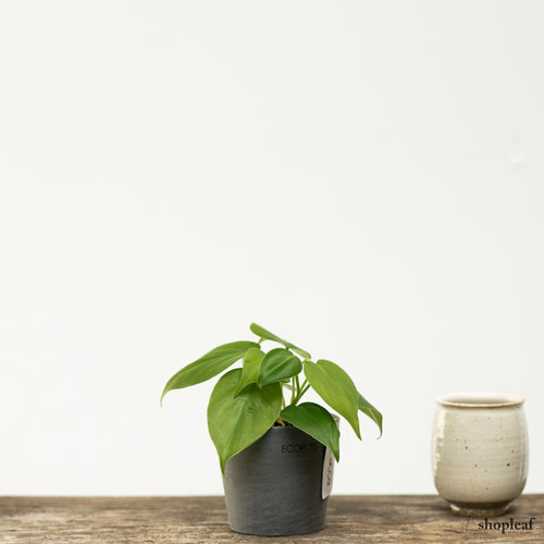 Heartleaf Philodendron (XS)