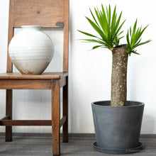 Load image into Gallery viewer, Yucca on Ecopots Big