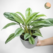 Load image into Gallery viewer, Aglaonema Silver Bay (M)