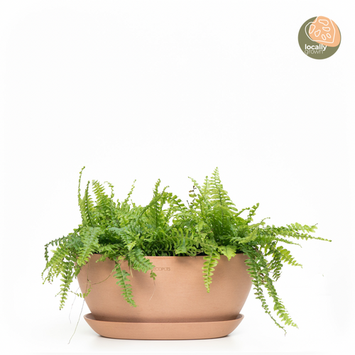 Boston Fern (M)
