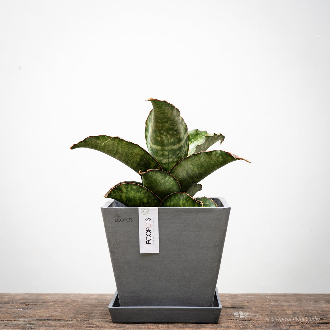 Sansevieria Dragon Wing on Ecopots Rotterdam 20