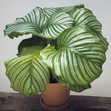 Load image into Gallery viewer, Calathea orbifolia (XL) on Ecopots Amsterdam 20