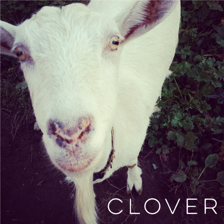 clover the goat