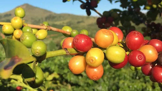 Coffee of the Month – Costa Rica Amapola