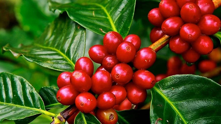The History of Coffee - Who Discovered it?