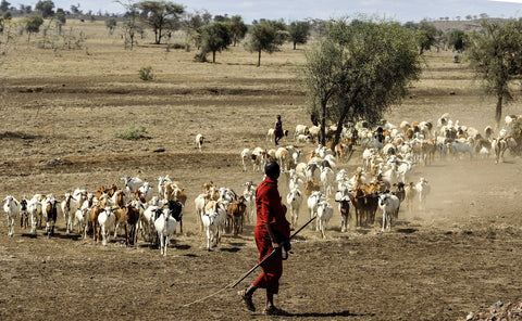 "Goats herded on African Plains Image by <a href=""https://pixabay.com/users/skeeze-272447/?utm_source=link-attribution&amp;utm_medium=referral&amp;utm_campaign=image&amp;utm_content=802888"">skeeze</a> from <a href=""https://pixabay.com/?utm_source=link-attribution&amp;utm_medium=referral&amp;utm_campaign=image&amp;utm_content=802888"">Pixabay</a>"