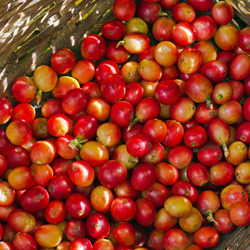 KENYA PEABERRY Green Coffee Beans