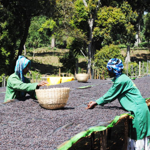 ETHIOPIAN NATURAL SIDAMO - Medium-Dark Roast Coffee