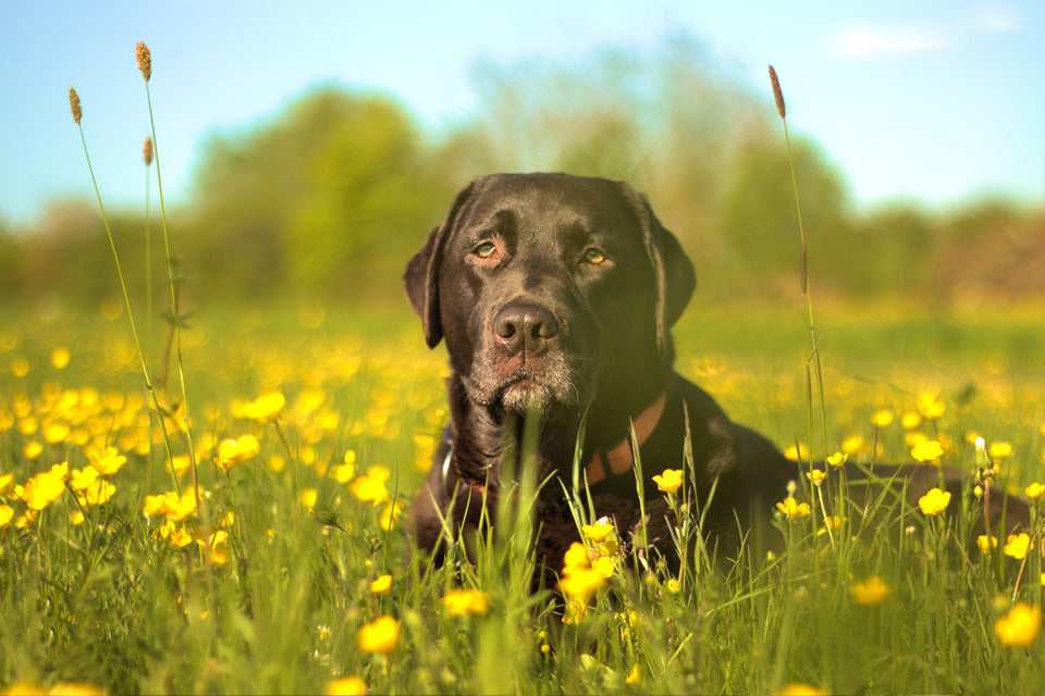 Identifying Seasonal Allergies in Dogs