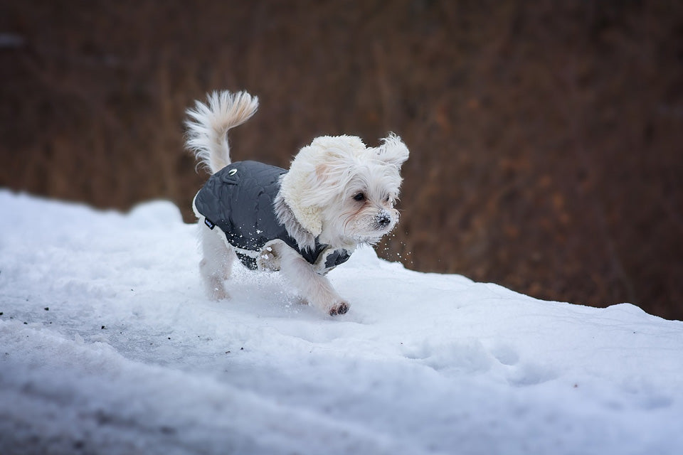 Which Dog Breeds Need a Coat in the Winter