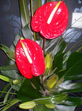 Tropical Red Anthuriums Corporate
