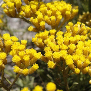 Helichrysum Italian | Organic | 5g (5.68ml) - Petal and Stem