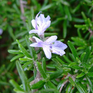 Rosemary Verbenone | Organic | 5g (5.62ml) - Petal and Stem