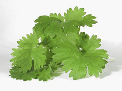 Bunch of Fresh Coriander