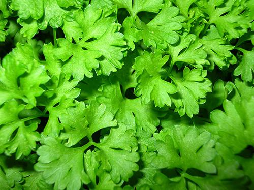 Bunch of Flat Leaf Parsley