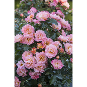 Peach Drift Rose Plant - 2 Gallon