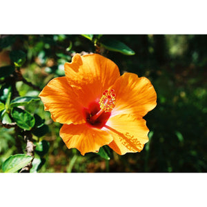Hibiscus Plant - 2 Gallon - Seed World