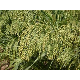 Dove Proso Millet Seed