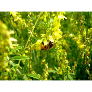 Yellow Sweet Blossom Clover Seed