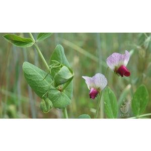 Austrian Winter Peas Seed