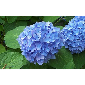Bloom Struck Hydrangea Floral Plant - 1 Gallon
