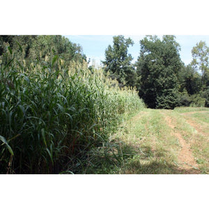 Egyptian-Wheat-Quail-Food-Plot