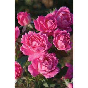 Knock Out Double Pink Rose Plant - 2 Gallon