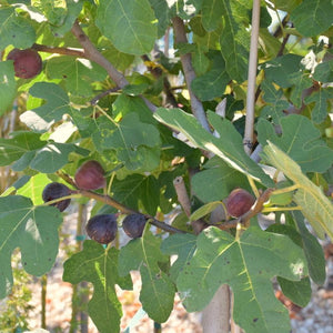 Fig Tree Plant - 1 Gallon - Seed World