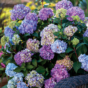 Endless Summer Hydrangea Floral Plant - 1 Gallon - Seed World