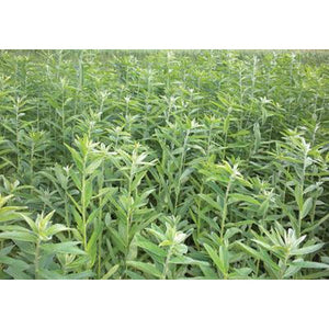 Sunn Hemp Seeds (Coated and Inoculated) - 50 Lbs. - Seed World