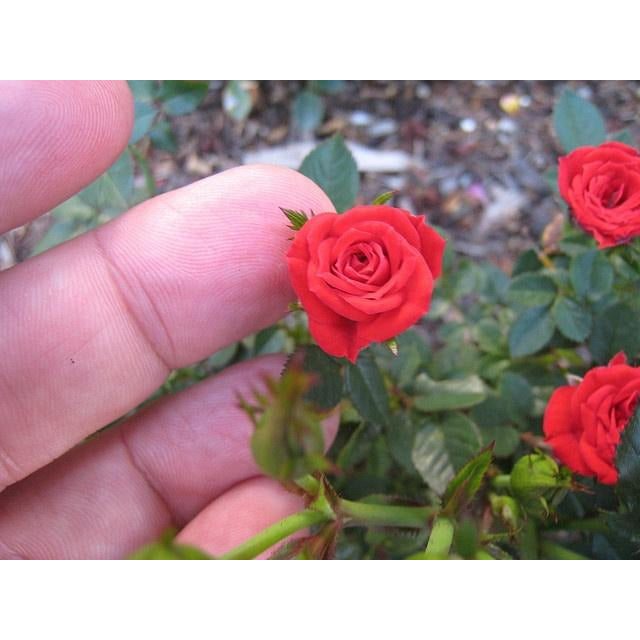 Mini Rose Plant - 1 Gallon - Seed World