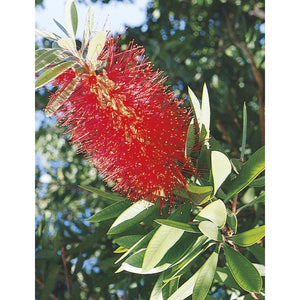 Bottlebrush Tree Plant - 1 Gallon - Seed World
