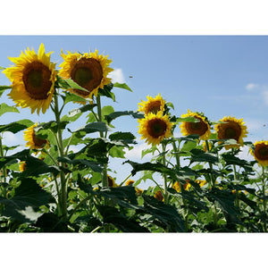 Clearfield Lonesome Dove Sunflower Seeds - Seed World