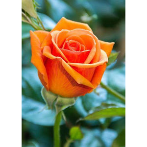 Rose Duet (Multi-Colored) Plant - 2.25 Gallon