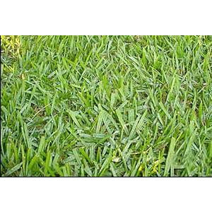 Argentine Bahia Lawn Grass Seed (Raw) - Seed World