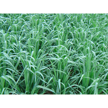 Cosaque Black Oats Seeds - 50 lbs