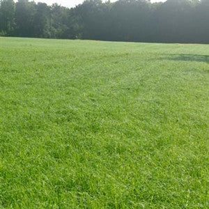 Bonus Teff Grass Seed - Seed World