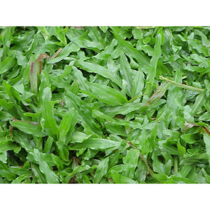 Carpet Grass Seed (Coated) - 50 Lbs.