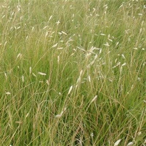 (Ships Jan 2021) Buffalo Grass Seed - 1/2 Lb.