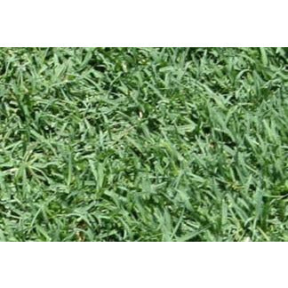 Bimini Bermuda Grass Plugs - 2 Trays