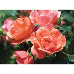 Knock Out Coral Rose Plant - 2 Gallon - Seed World